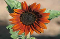Growing Orange Heirloom Sunflower Thumbnail