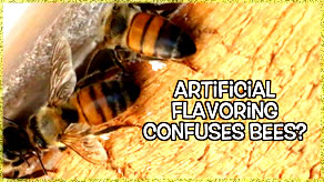 bees eating buty caulking - confused by artificial flavoring chemical